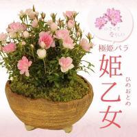 樹種:極姫薔薇(ごくひめばら)品種:姫乙女(ひめおとめ) 撮影日: 5月 樹高:約8cm 幅:約10...