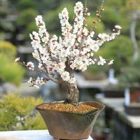 樹種:白梅  撮影日: 2月  樹高:約30cm 鉢径:約25cm  落葉樹。1月から2月にかけて、...