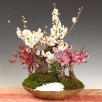 盆栽:大白梅紅梅寄せ*(紅白)(信楽焼鉢) 令和 万葉集  2020年 初春 開花予定
