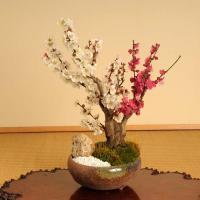 盆栽:紅白梅(瀬戸焼三彩鉢)* 令和 万葉集  2020年 初春 開花予定