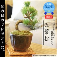 (遅れてごめんね 父の日ギフト)ミニ盆栽:五葉松(瀬戸焼小鉢)*鉢植え 祝い ギフト gift 誕生日祝 御祝 プレゼントにも
