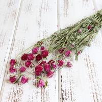 ハーバリウムの花材に大人気の国産センニチコウです。 ヘッドを摘み取って瓶やカゴに詰めるだけでも可愛い...