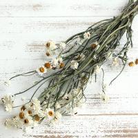 国内で収穫された白くかわいい花が特徴的なドライフラワーです。キク科の多年草です。  ( flwhit...