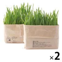 無印良品 猫草栽培セット 2個入り 2セット 良品計画