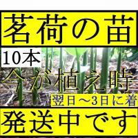 【発送中!】翌日~3日で着!天然茗荷・みょうが・ミョウガ♪栽培♪苗10株