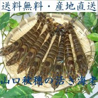 山口県秋穂産の活き車エビを産地直送でお届けいたします。 *12月を除く日曜、祝日および年始(12月3...