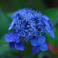 花 苗 山野草:藍姫(アイヒメ) ヤマアジサイ ポット苗 樹高40cm内外の苗です。