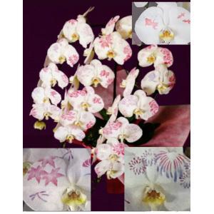 【花びらに絵柄や文字をえがけます】 化粧蘭 三本立 90〜100cm|1885
