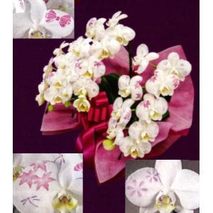 【花びらに絵柄や文字をえがけます】 ミディ化粧蘭 三本立 50〜60cm|1885