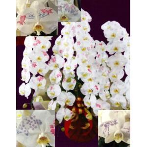 【花びらに絵柄や文字をえがけます】 ミディ化粧蘭 五本立 50〜60cm|1885