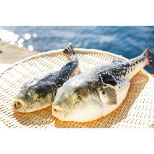 3年とらふぐ 丸ごと1匹身欠き(元魚1.3kg:大きくなりました )鍋5人前 淡路島3年とらふぐ 若男水産|3nen-torafugu|05