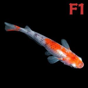 (メダカ) 紀州三色めだか 【F1】 5匹セット / 三色 錦 F1 淡水魚