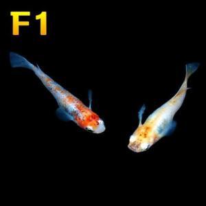 (メダカ) めだか 三色セット 【F1】 10匹セット / ミックス 紀州三色 黄金三色 F1 淡水魚