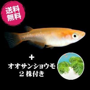 (メダカ) 楊貴妃めだか 20匹セット + オオサンショウモ 2株付き / 楊貴妃 大山椒藻 メダカ 淡水魚