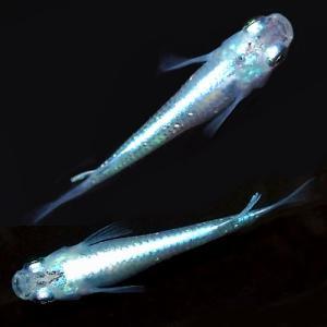 (メダカ) みゆき(幹之)めだか 強光〜スーパー光 10匹セット / 青幹之(ミユキ) メダカ 淡水魚