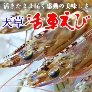 熊本天草土産 プリプリッ活車えび(車海老・車エビ) 約500g|55net