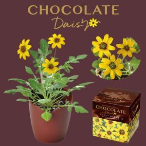 チョコレートの香りを楽しむ チョコレートデイジー栽培セット。 デイジーのような黄色の花が甘いチョコレ...