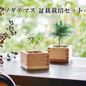 ヒノキ升で小さな樹木を育てる盆栽栽培セット。 和紙の包みを開けるとヒノキがほんのり香る、日本らしい装...