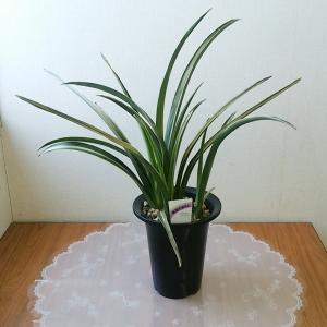 花金 観葉植物 おもと A 5号 細葉斑入|8hana-gift