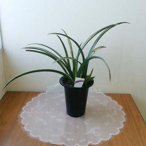 花金 観葉植物 おもと B 5号 細葉斑入|8hana-gift