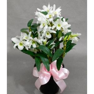 デンドロビューム Sサイズ (鉢サイズ3〜4号)(花色お任せ)(店舗共有)|8hana-gift