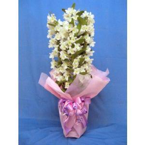 特選デンドロビューム 5号鉢(花色おまかせ)(店舗共有)|8hana-gift