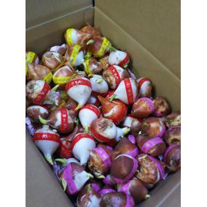福袋 箱いっぱい三色ジャンボ球詰め合わせ(超特大球) 75球