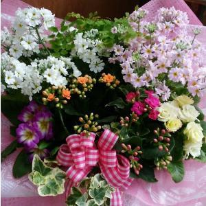 愛妻の日 花いっぱい(寄せ鉢) 桜草アレンジ 8hana-gift
