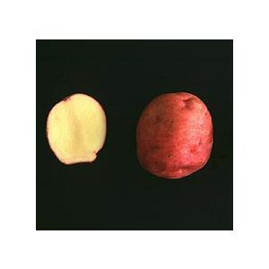 アンデスレッド(馬鈴薯) 1kg ジャガイモ種芋 春作種芋