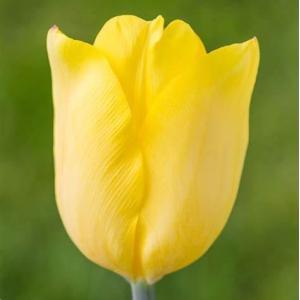 ジャンボチューリップ球根 黄色 10ケ 14/+cm|8hana-gift