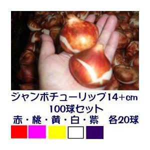 ジャンボチューリップ球根単色5種セット  赤・桃・黄・白・紫色 各20個 計100個|8hana-gift
