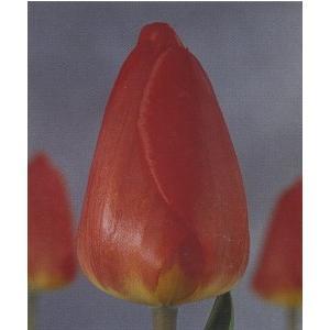超徳 10/11cm チューリップ球根 赤色  ケース売り 1100球|8hana-gift