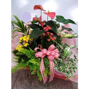 観葉植物 アンスリアムの寄せ鉢アレンジ|8hana-gift