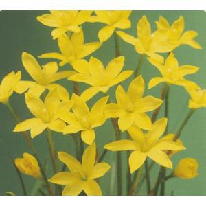 春植球根 ゼフィランサス シトリナ 7球入 黄色