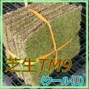 芝生 ティーエムナイン (高麗芝系) TM9 1平米  クール便専用