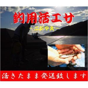 【活き餌】生きたまま発送!活きエサ ニジマス30匹セット 生きエサ 釣堀 イカ釣り