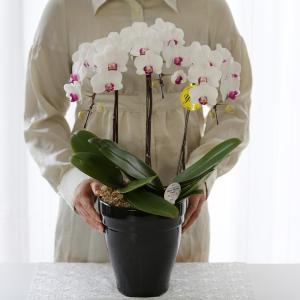 胡蝶蘭 1 ゆみリボン付き6号3本立て 2 りんりんリボン付き6号3本立て 退職祝い 女性 プレゼント ギフト 鉢花 母の日 2018 誕生日 還暦祝い 開店祝 御祝|a4s