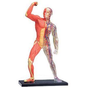 入学祝い 科学おもちゃサイエンストイ 教材 立体パズル4D Vision 人体 筋肉と骨格解剖モデル 自由研究 キット|acomes