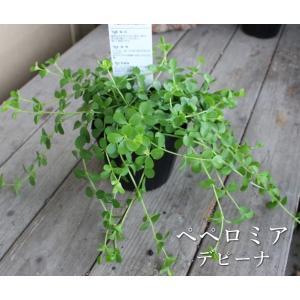 ペペロミア デピーナ 観葉植物 多肉植物 寄せ植え カラーリーフ リーフプランツ 光沢 カラーラベル付き 3号ポット 石川園芸 インテリア|agreable1999