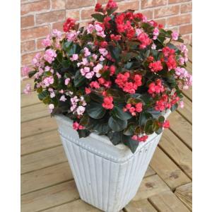 ベゴニア ダブレット バラ咲き 10.5cmポット苗 4種 花苗 夏の花 ハクサン|agreable1999