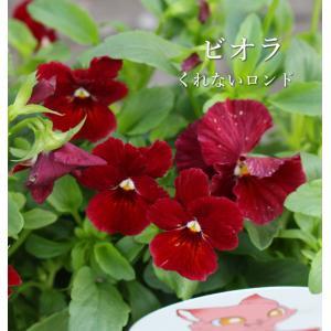 ハクサン フラワーカーペットローズ 四季咲き 10.5cmプラ角鉢 8種 na-005