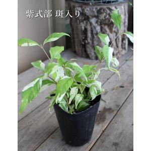 ハクサン 可愛い水色の花 寄せ植え 大輪忘れな草 10.5cmプラ角鉢 「ミオソティス ミオマルク」na-009
