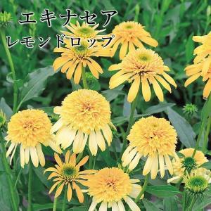 レモンドロップはさわやかなレモンイエローの八重咲き品種です。 ボリュームある花姿をお楽しみいただけま...