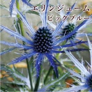 イングリッシュガーデンでもおなじみの大きい花のエリンジューム。 一輪でも絵になる、とても美しい花です...