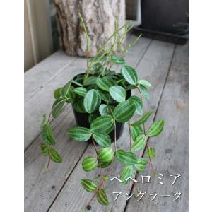 ペペロミア アングラータ 観葉植物 多肉植物 寄せ植え カラーリーフ リーフプランツ 光沢 カラーラベル付き 3号ポット 石川園芸 インテリア|agreable1999