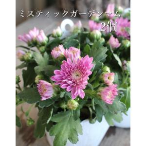 フェアリーアイの花房は、開花しはじめる頃は両性花が中央にあり、それを囲むようにして八重の装飾花がつき...