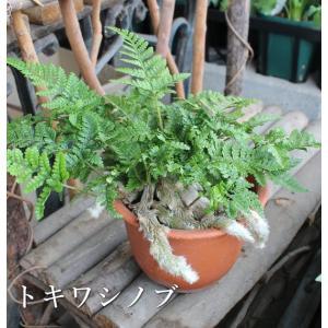 トキワシノブ 山野草 観葉植物 シダ 4号鉢 着生植物 コケ玉作りに!|agreable1999