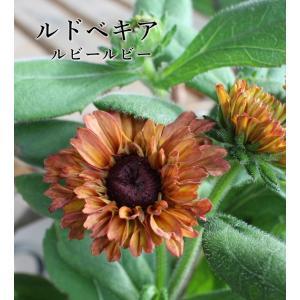 ガーデンダリア ミッドナイトムーン ワインベルベ...の商品画像