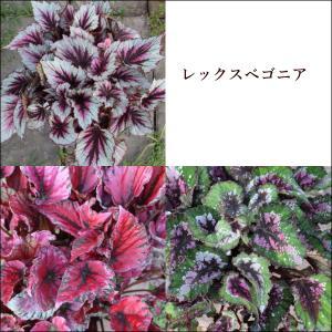 レックスベゴニア ビリーフシリーズ 3.5号ポット 美しい葉を楽しむ観賞用ベゴニア|agreable1999