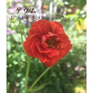 淡い薄黄色の八重咲き品種。一番花は丸みのある花弁で、二番花以降はやや剣弁となります。花は比較的横向き...